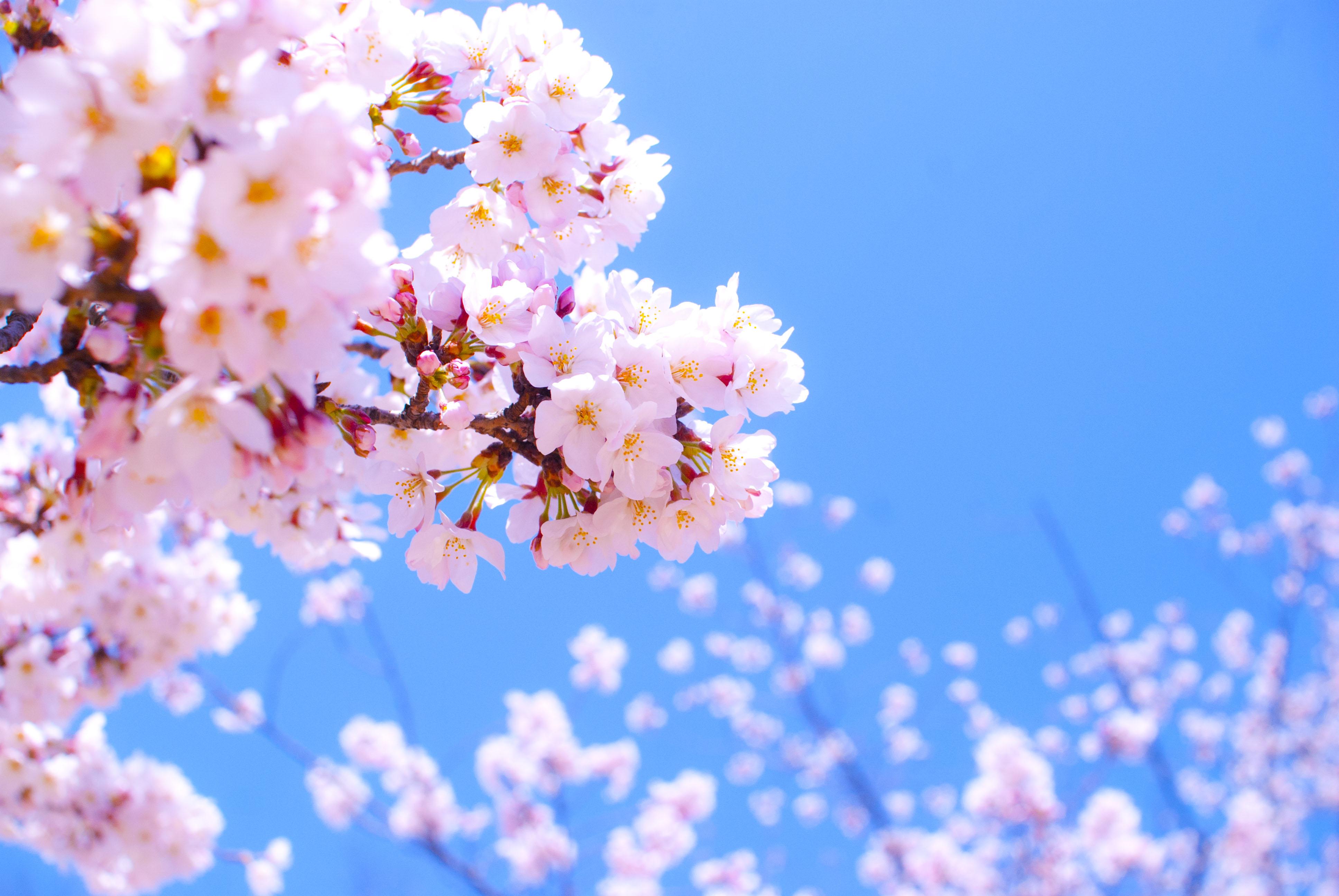 桜の花画像 株式会社ソリューション